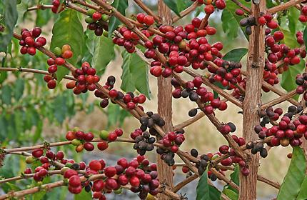 http://coffeeplant.narod.ru/coffee.jpg