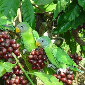 Попугаи на ветке кофейного дерева
